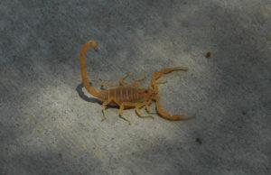 Scottsdale scorpion control, Phoenix scorpion control, Scottsdale pest control, Phoenix pest control.